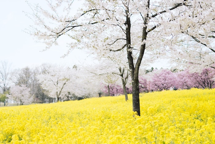Jaune champ de colza, arbre fleurie fruité, fond ecran printemps, paysage de printemps, fleurie renaissance de la nature