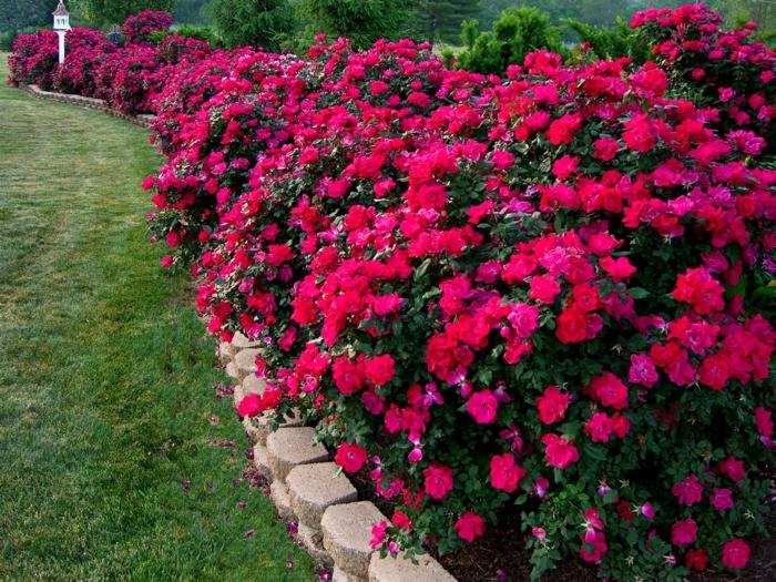 joli massi fleurs à floraison cyclamen, bordure fleurie, herbe verte, long massif de fleurs