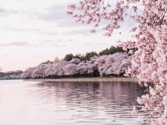Cerisiers fleuries paysage fantastique, fond d'ecran japonais cool, fond ecran fleur et lac, chouette idée d'image à utiliser