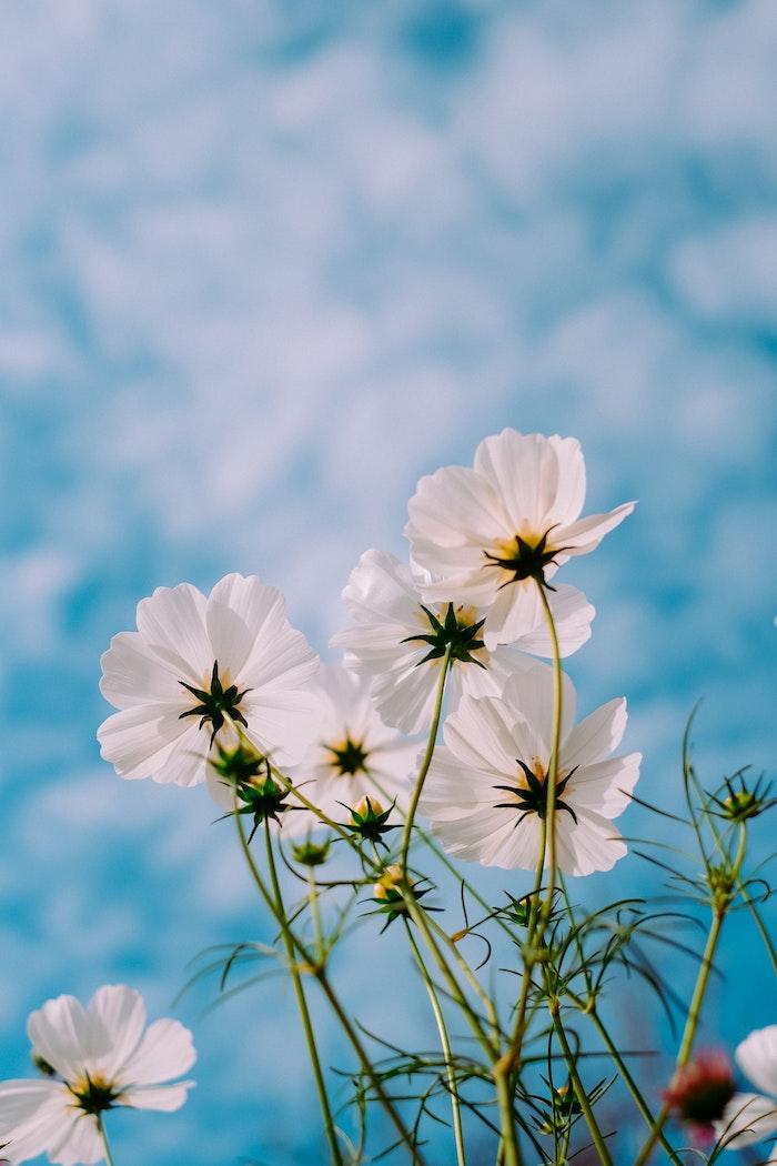 Ciel bleu et fleurs blanches, magnifique image printemps, paysage fond d'écran fleurie, image de fleurs