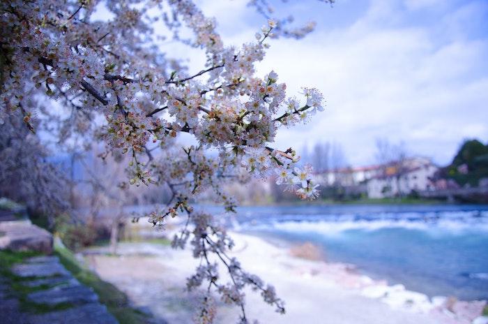 Arbre fleurie au bord de la mer, belle photo fond d'écran printemps, paysage printanier fond d'écran