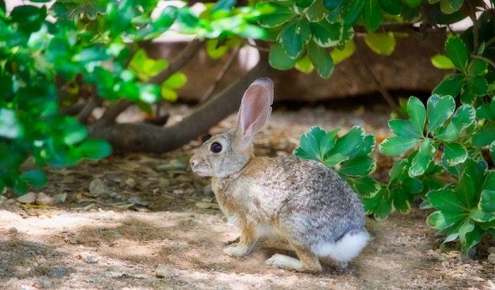 Les grands oreilles d'un mignon lapin dans le jardin, jolie image de pâques gratuit, joyeuse fete de paques avec une image champetre a telecharger