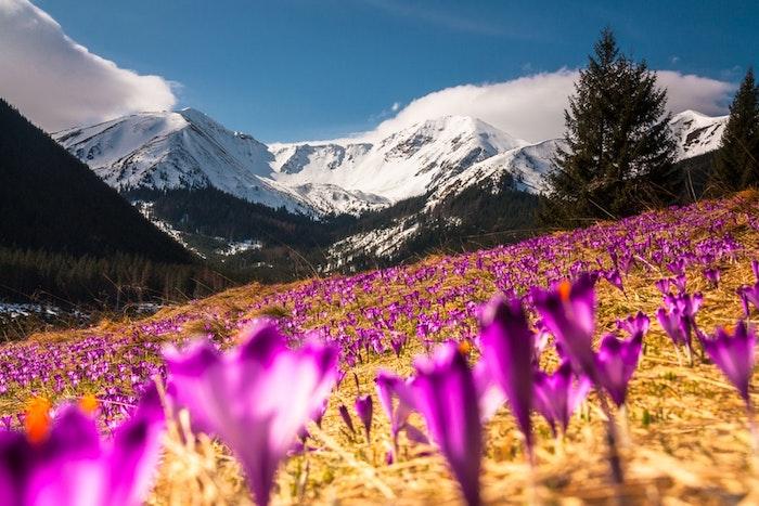 Crocus champ, beauté de la montagne, champ printanier avec collines enneigées en arrière plan et milles crocus en focus