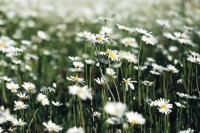 Champ de marguerites blanches, fond d'écran paysage printemps, paysage champetre fond d'écran
