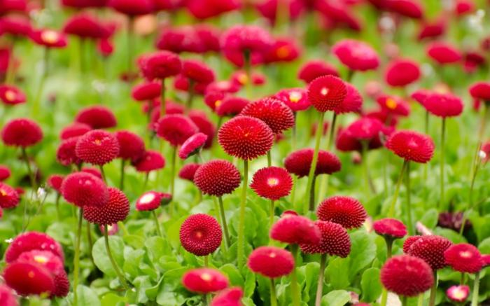 fleurs de printemps et d'été, paquerettes rouges, massif de fleurs petite taille fleuries en rouge