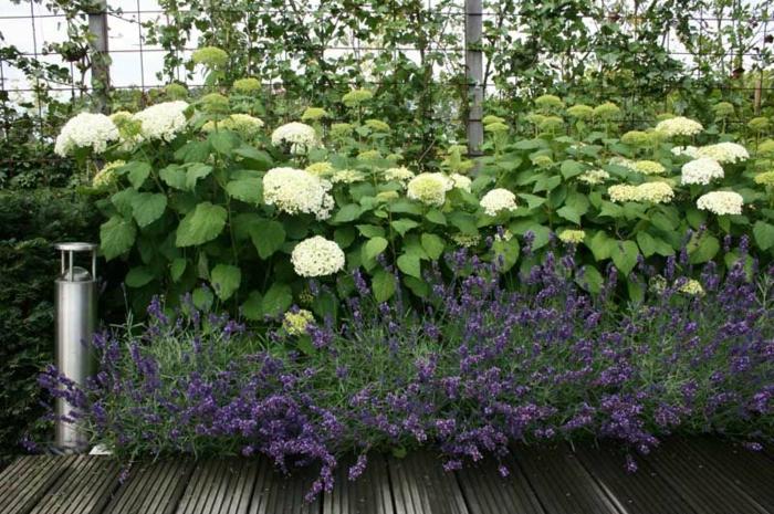 allée de jardin en bois, hydrangeas blancs, petites fleurs lilas, modele de parterre de fleurs