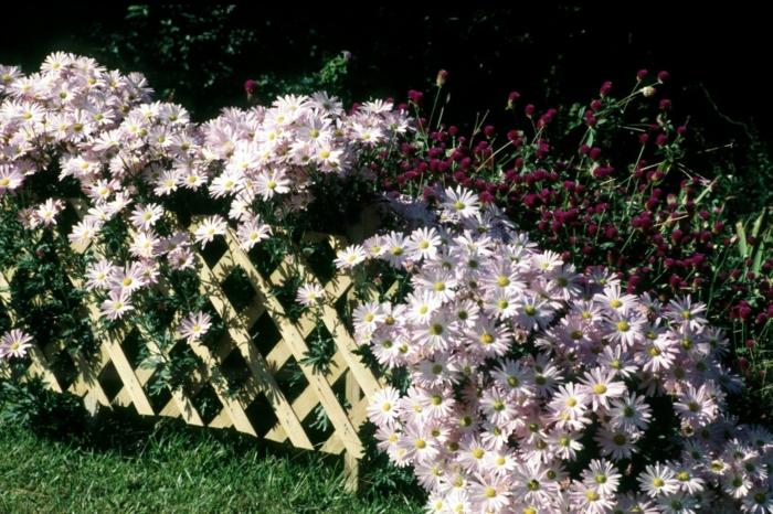 massif jardin fleurs lilas pâle, paquerettes plantées derrière une palissade blanche dans le jardin