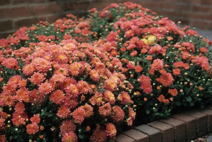 massif fleuri de chrysanthèmes en couleur orange pastel, bordure fleurie compacte devant la maison