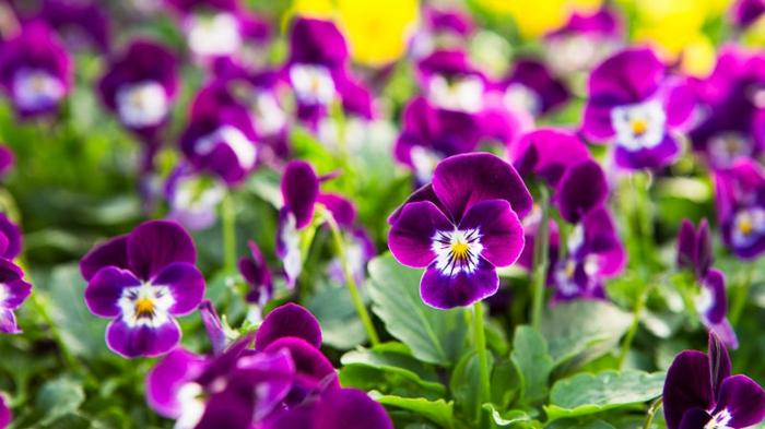 violettes épanouies couleur lilas, créer un massif de fleurs vivaces, que planter dans son jardin