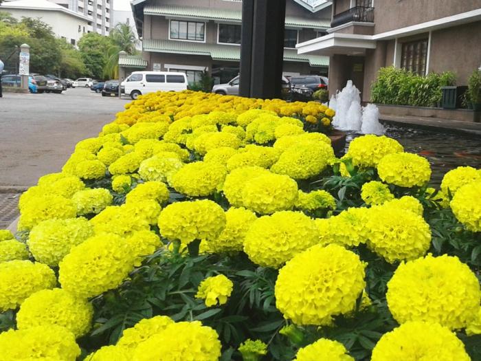 massif de fleurs jaunes, fontaines devant un bâtiment, parterre de fleurs à floraison jaune