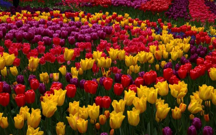 grands massifs de tulipes lilas, jaunes et rouges, jardin aux dessins de tulipes