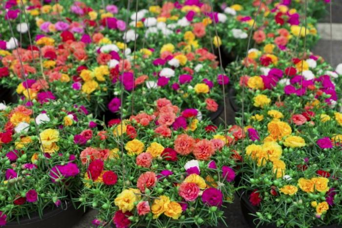 arrangements de fleurs en pneus, oeillets multicolores, fleurs de printemps et d'été joliment arrangées