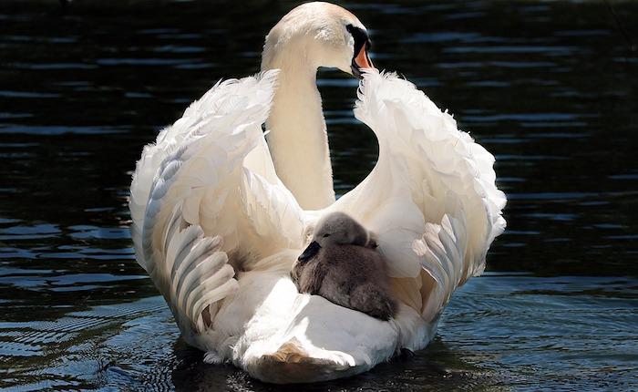 Cygne et bébé fond d'écran gratuit printemps, animaux fond d'écran, lac avec cygnes