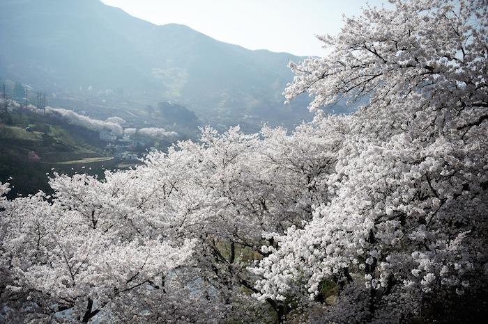 Photo montagne et arbres fleuries, image printemps fleurie, paysage de printemps, photographie professionnelle