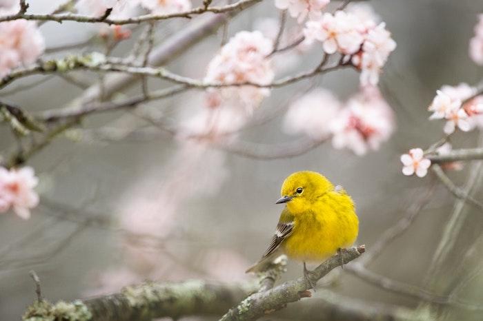 Oiseau jaune sur branche de cerisier fleurie, arbre en fleur beau, branche avec oiseau de printemps joli