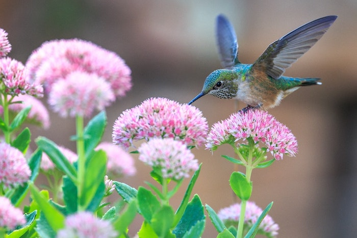 Chouette idée pour fond ecran nature, oiseau colibri et fleur rose couleur, paysage de printemps, croissance des végétaux