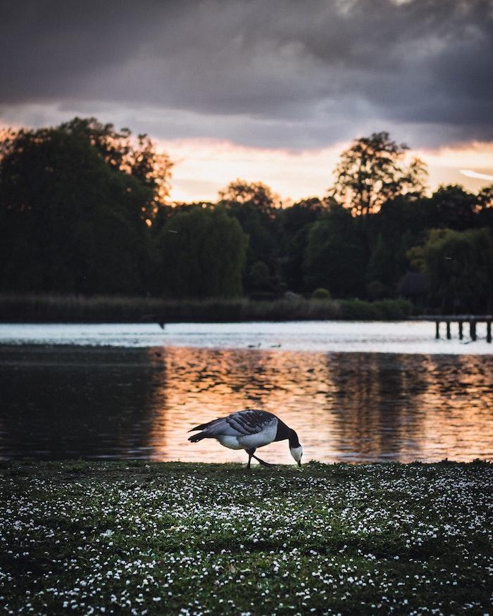 Lac dans un parc avec oiseaux qui se promenent sur les champs fleuries, photo printemps coucher de soleil