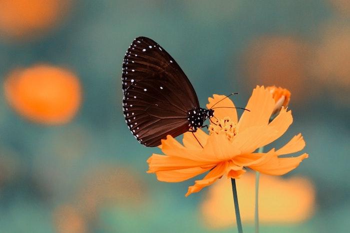Papillon sur fleur orange, fond ecran paysage, image printemps, la beauté de la nature, beauté des papillons