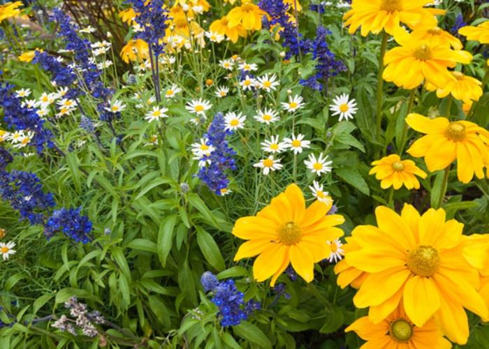combinaison de fleurs d'été, jolies fleurs jaunes, paquerettes, fleurs bleues en panicule, parterre de fleurs