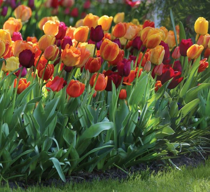 parterre de tulipes jaunes et burgundy, pelouse verte, créer un parterre devant maison avec tulipes