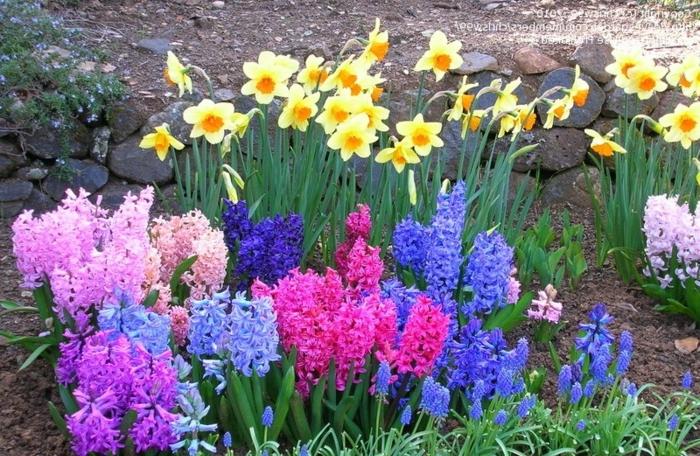 jonquilles et jacinthes, fleurs de printemps en massif, petite bordure fleurie, jardin fleuri