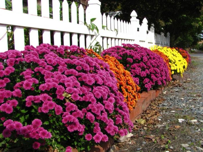 grand parterre de fleurs devant la palissade, créer une bordure fleurie avec chrysanthèmes multicolores