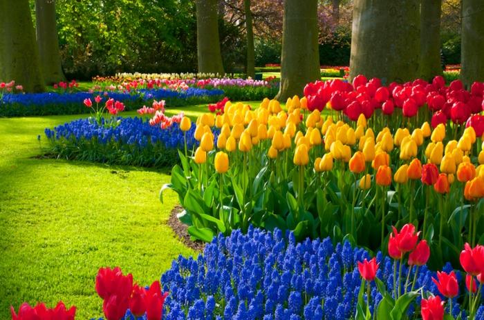 tulipes multicolores et fleurs bleues, pelouse verte ensoleillée, jacinthes bleues, forêt
