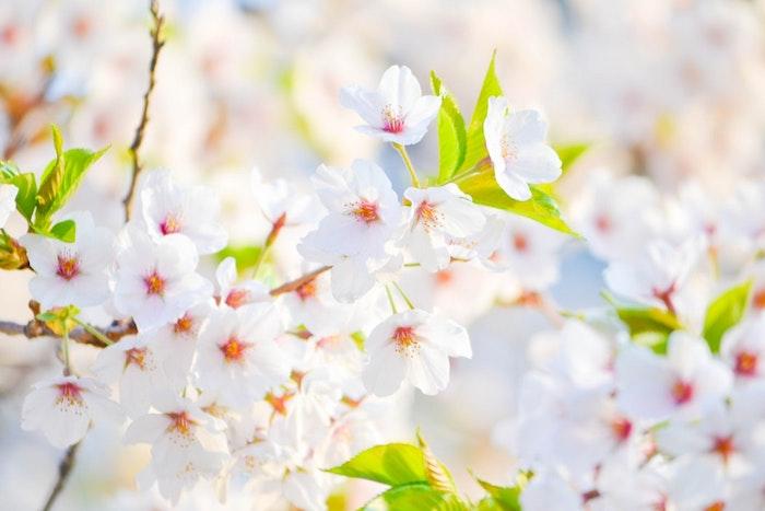 Blanches fleurs d'arbre fruitier, image printemps fond d'écran printemps, image printemps paysage