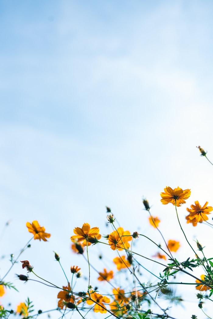 Jaunes fleurs au fond de ciel bleu claire, fond ecran printemps, fond ecran fleur, belle image arriere plan, il fait beau
