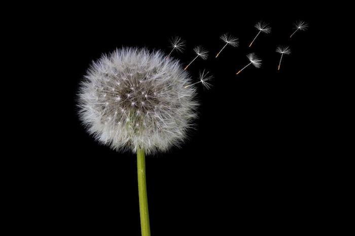 Pissenlit beau, la nature fond ecran fleur, fond d'écran printemps, arrière plan nature, photographie micro focus