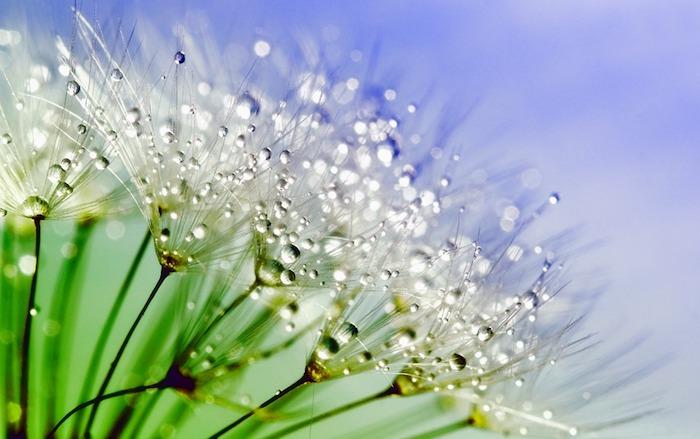 Pissenlit arrosé fleurs de printemps image, fond d'écran paysage printemps, fond ecran fleur, idée de paysage pour fond d'écran