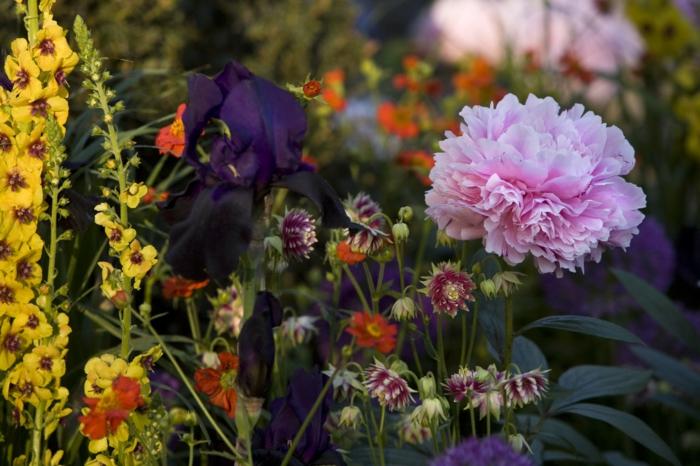 combinaison unique de fleurs, parterre de fleurs, pivoines roses, massif fleuri de vivaces