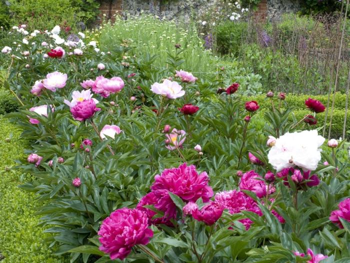 exemples massifs vivaces, pivoines, herbe fraîche, massifs fleuris en pleine nature