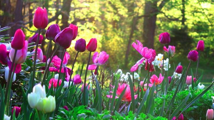 forêt et tulipes blanches et cyclamen, parterre de fleurs en pleine nature, fleurs de printemps