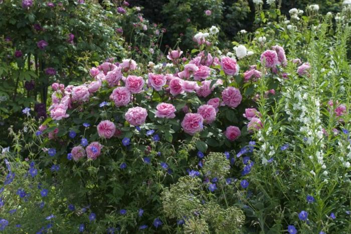 massif de fleurs magnifiques, exemples massifs vivaces, roses, petites fleurs bleues, fleurs blanches