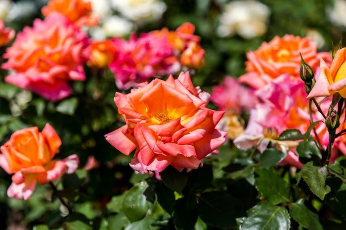 Roses en paysage de printemps, paysage champetre pour fond d'écran, roses a differents couleurs