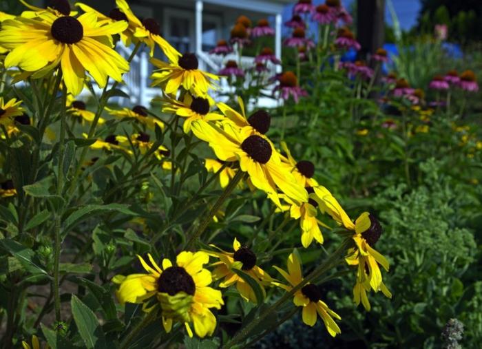 fleurs jaunes fleuries dans un jardin vert, massif de fleurs devant la maison