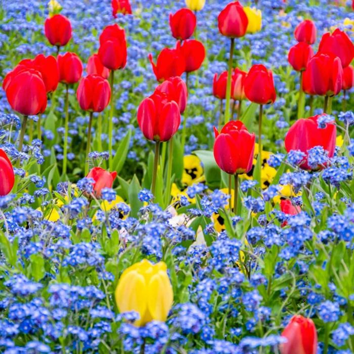 tulipes rouges et jaunes, petits bleuets, massif fleurs ornementales printemps-été, parterre de fleurs