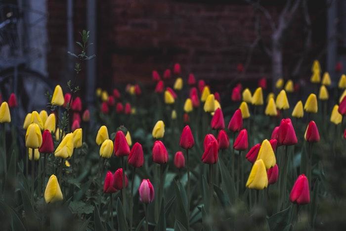 Champs couvert de tulipes a differents couleurs, belles images de paques, carte joyeuses pâques nature renaissance