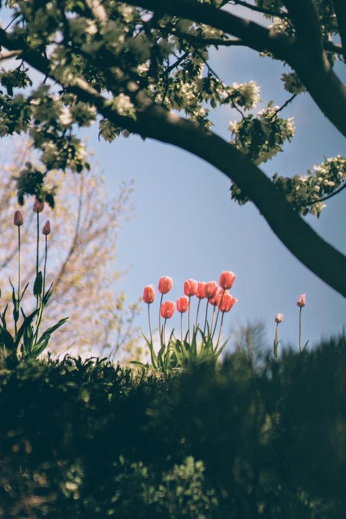 Tulips, arbre fleurie, tout ce qui crié printemps, fond d'écran gratuit printemps, paysage japonais fond d'écran