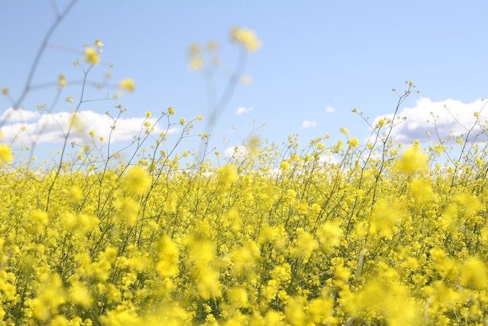 Jaunes fleurs de champs pour faire olive, paysage fantastique fond d'ecran fond ecran nature, ciel bleu avec peu de nuages