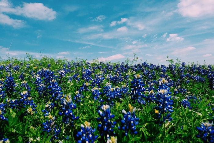 Champ avec fleurs bleues, photo paysage de printemps, image paysages de fleurs printemps, ciel comme l'été