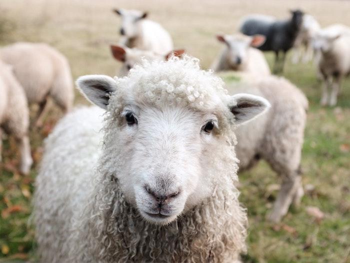 Fond d'écran mouton printemps, paysage animal printemps, image jolie champetre parfait pour fond d écan
