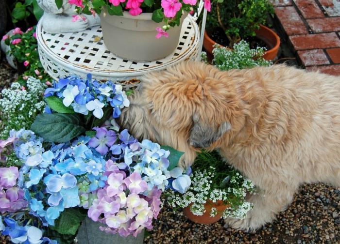 tabouret blanc, hortenzias beus et lilas, chien beige, deco de jardin coloré et frais