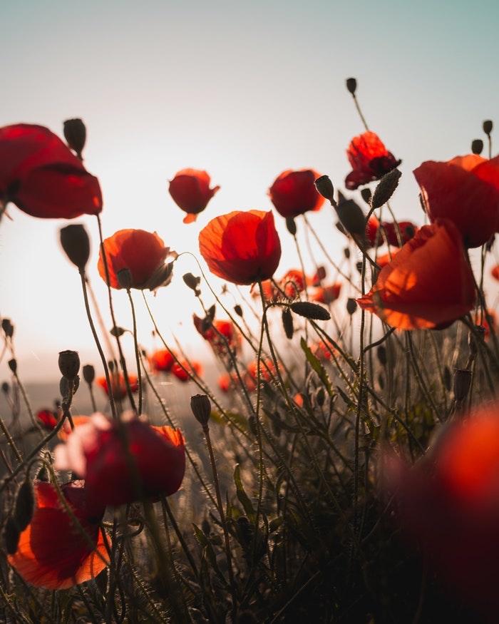 Fleurs champetres pavot rouge au coucher de soleil, images fete des meres gratuite, carte fête des mères