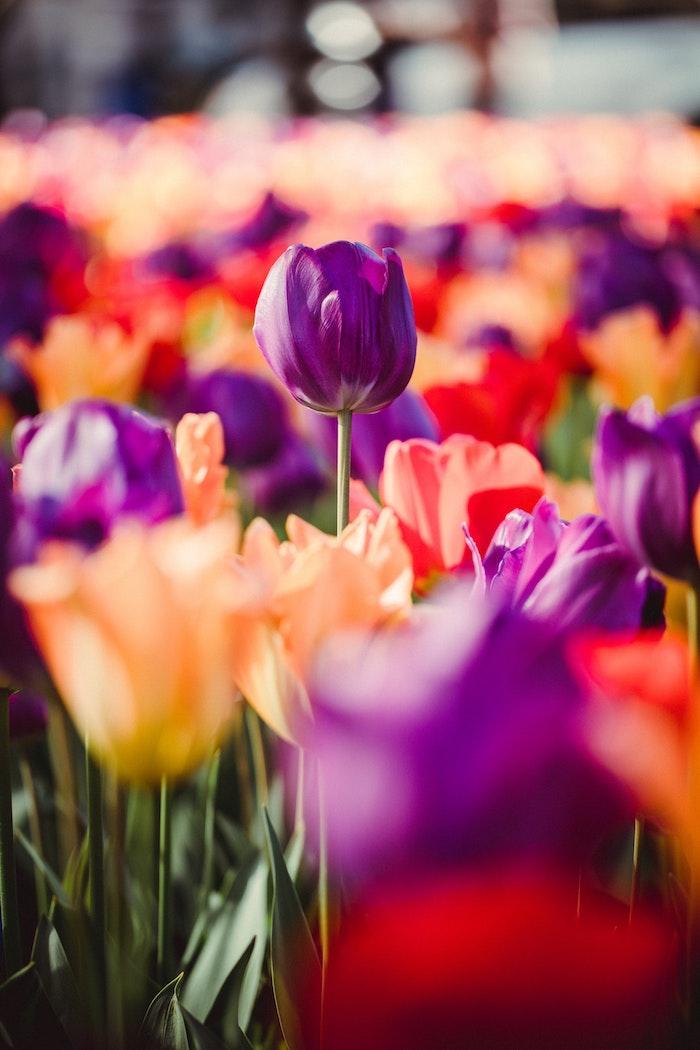 Champ de tulipes aux pays bas belle photographie nature, photo fete des meres, bonne fête des mères, images fete des meres