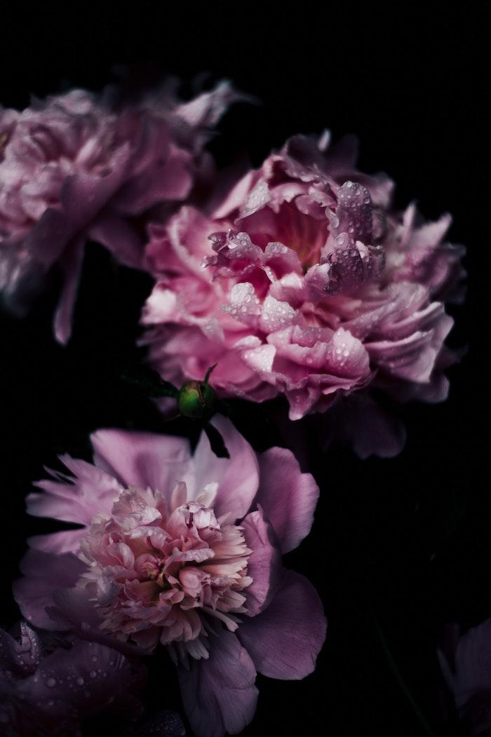 Pivoines roses avec petites goutes d'eau photographie professionnelle de fleur à fond noir, texte pour la fete des mere, idee fete des meres