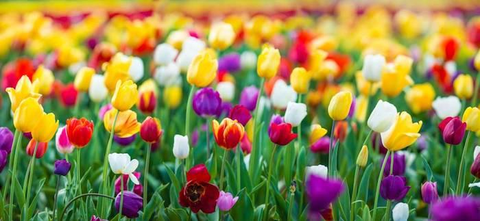 Jardin de beauté au printemps, entretenir ses tulipes pour avoir un beau jardin coloré au printemps