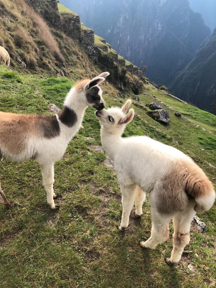 quel fond ecran printemps choisir pour son téléphone, amour entre deux alpagas très mignons, photo de lamas