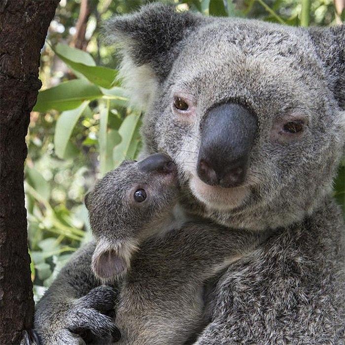 Koala et son petit photo à envoyer à sa mère, texte pour la fete des mere, image fête des mères